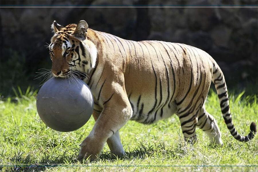 juguete-pelota-en-plastico-industrial-de-alto-impacto-para-tigre-de-bengala-en-zoologico-fuerte-resistente-duradera-de-color-gris-fabricada-por-maderplas